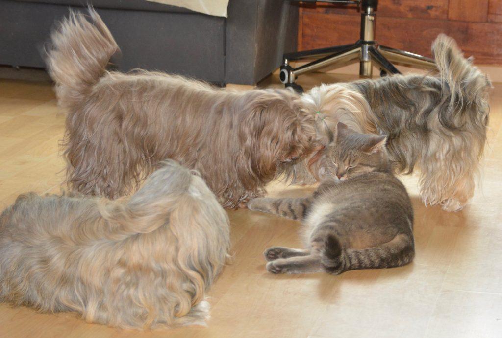 Bichons Havanais et chat