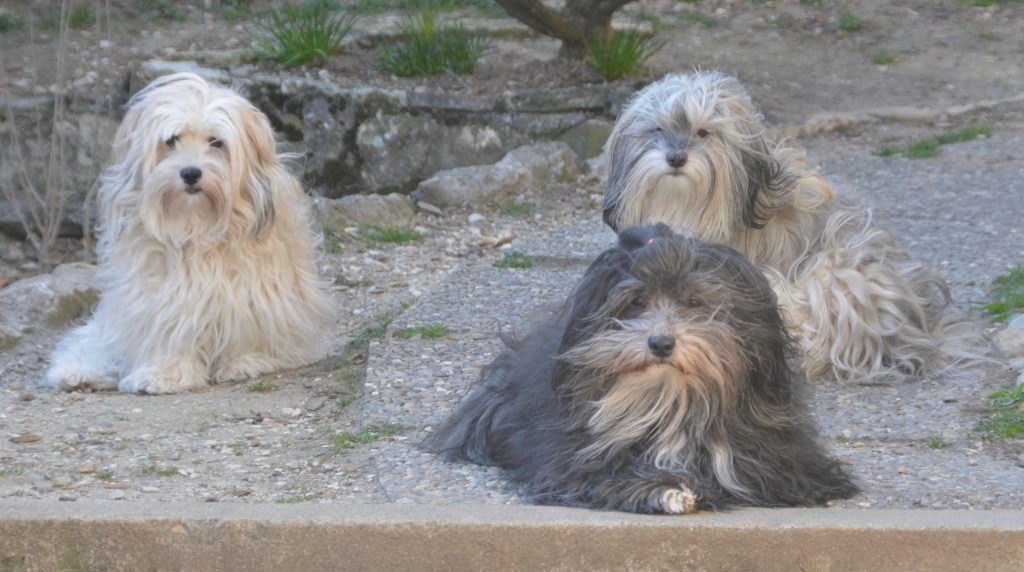 Bichon Havanais trio