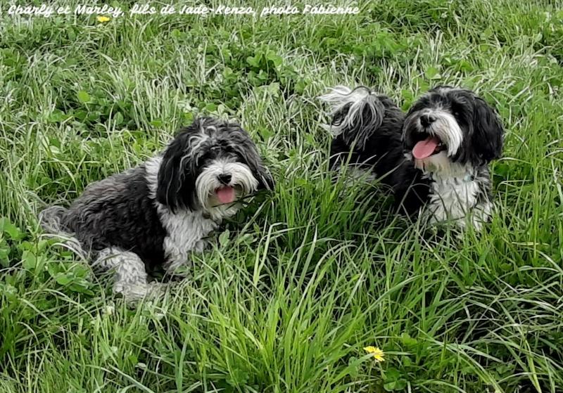 Deux frères bichons havanais