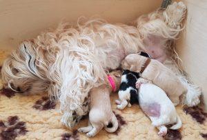 Portée de Bichons Havanais quadruplés avec leur maman