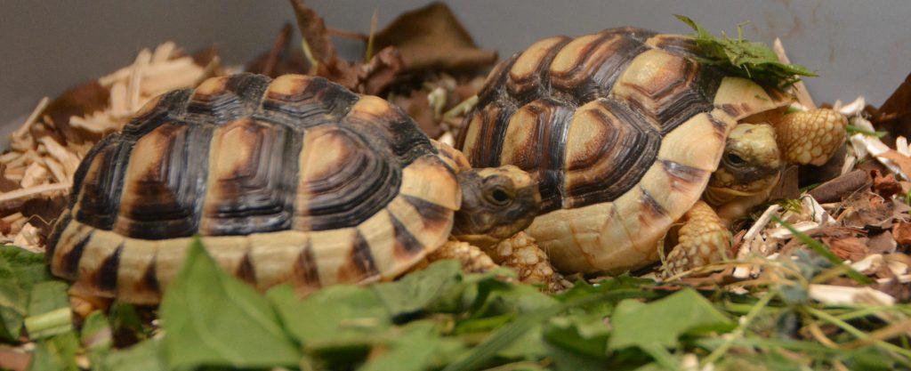 Deux tortues du Péloponnèse à la vie est belle