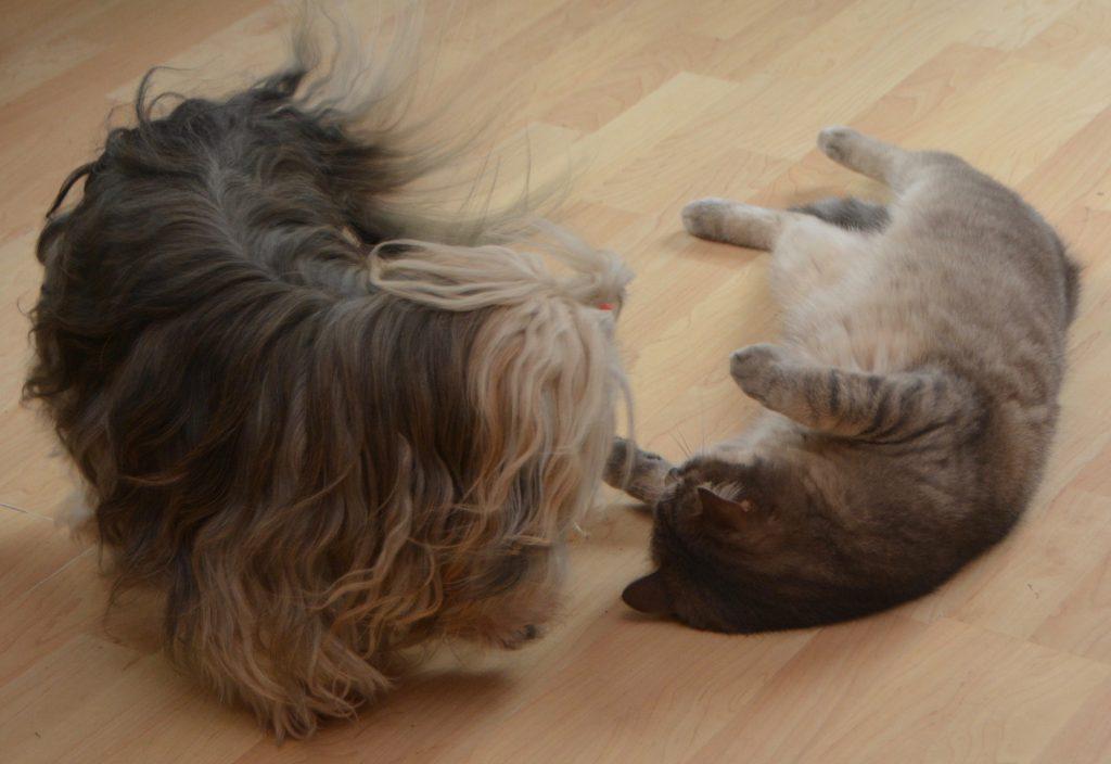 Nos bichons havanais et le chat Corsaire