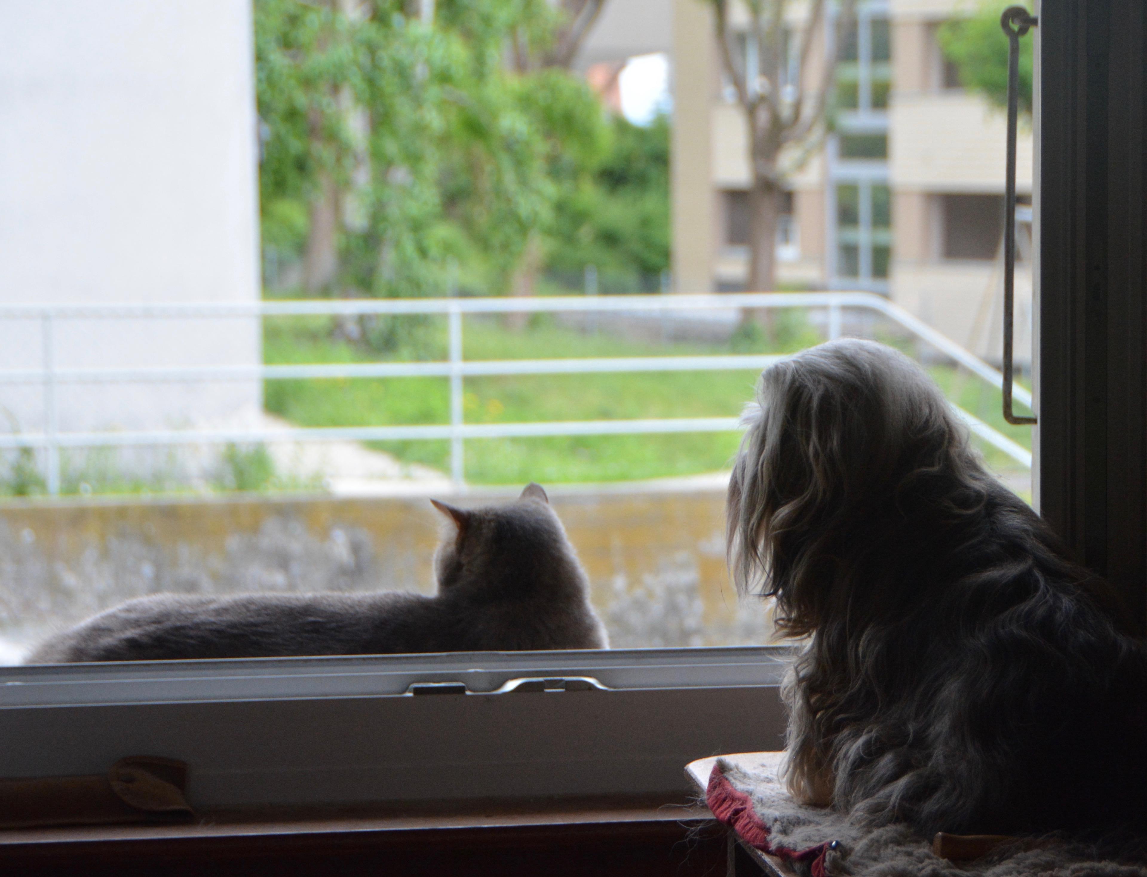 Corsaire chat ami des bichons