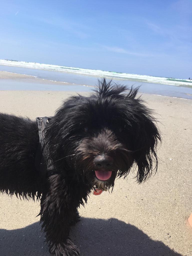 Bichon Havanais noir en vacances