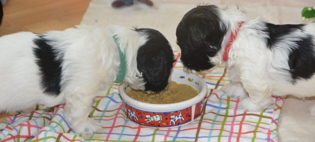 Nos bébés havanais