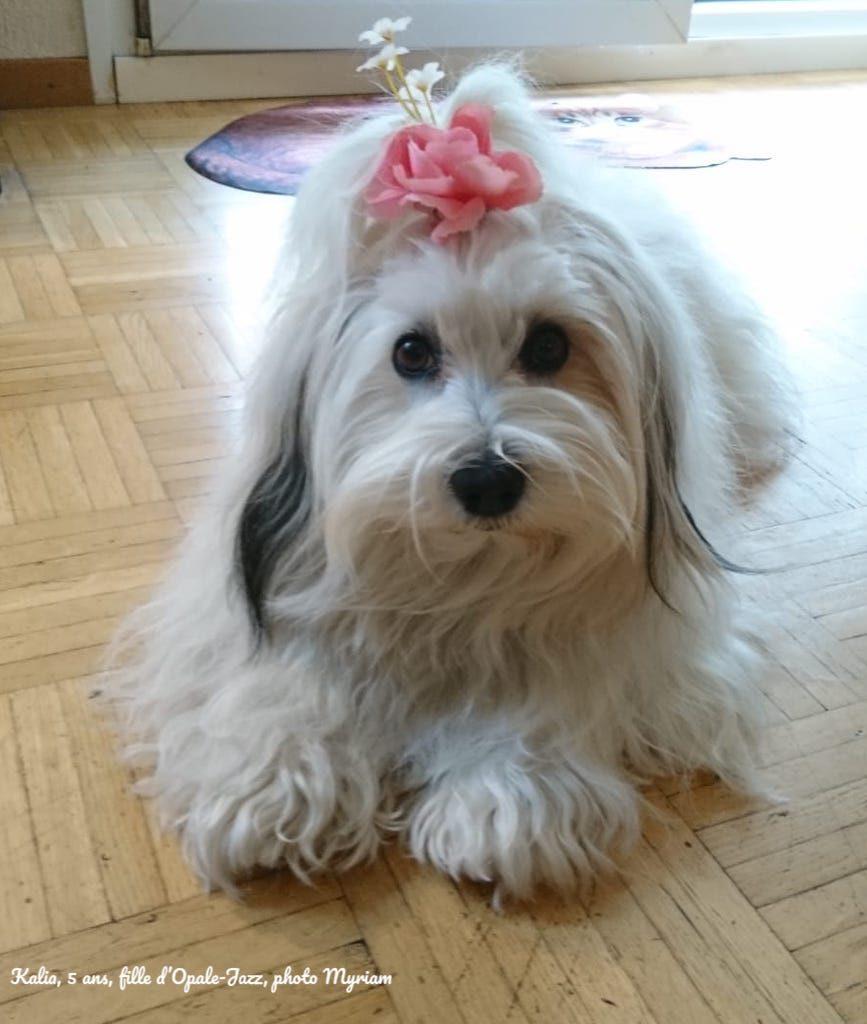 Kalia bichon havanais né à la vie est belle