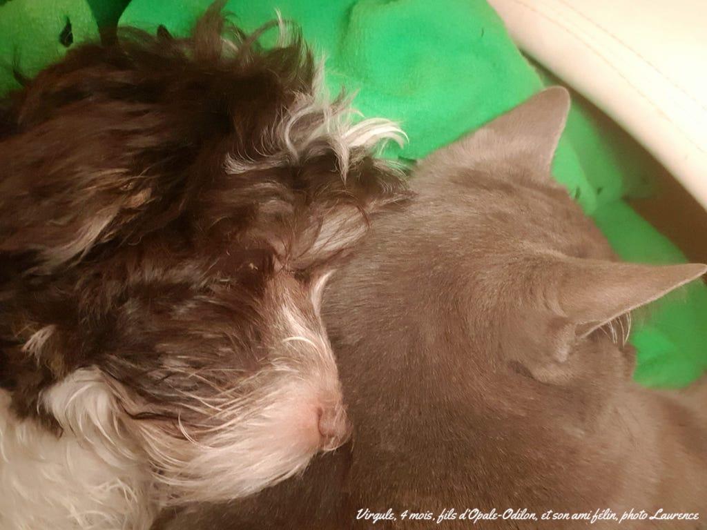 Bichon havanais et chat