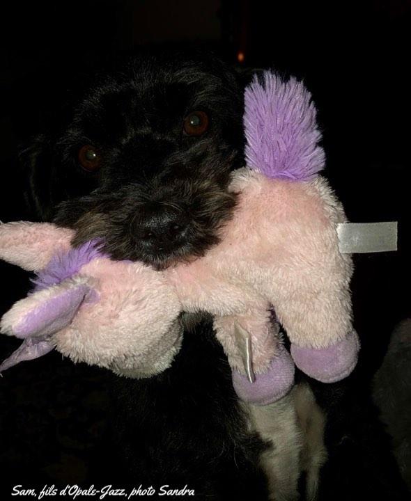 Instant de vie d'un bichon havanais