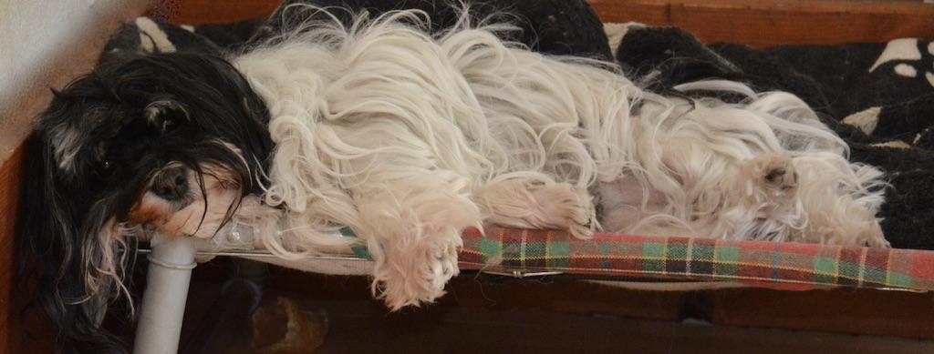 A l'élevage de bichons havanais à la vie est belle