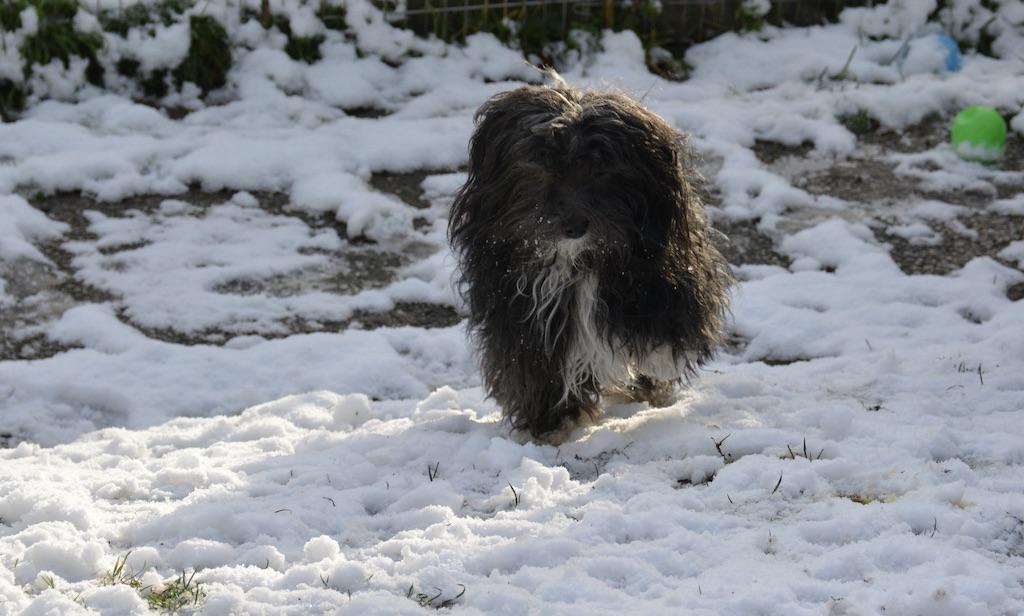 Bichon-havanais-neige