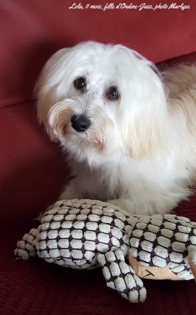 Petite chienne havanaise