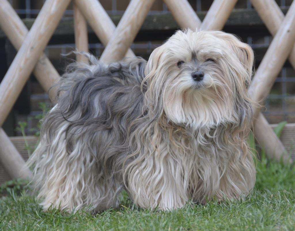 Un chien bichon havanais