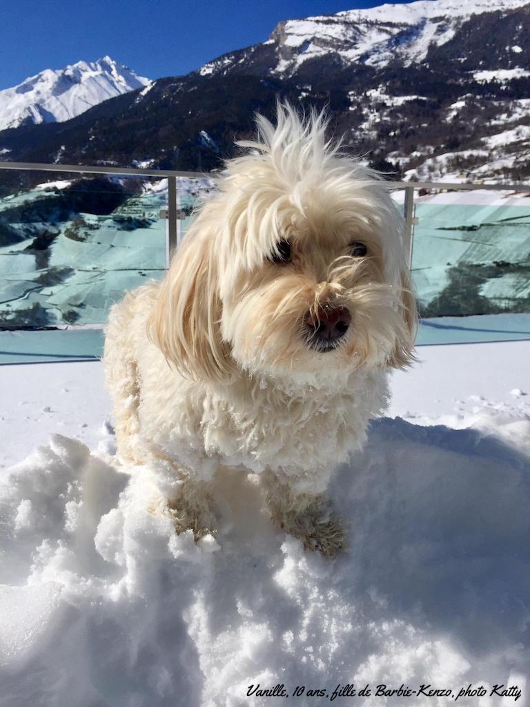 Le bichon havanais et la neige