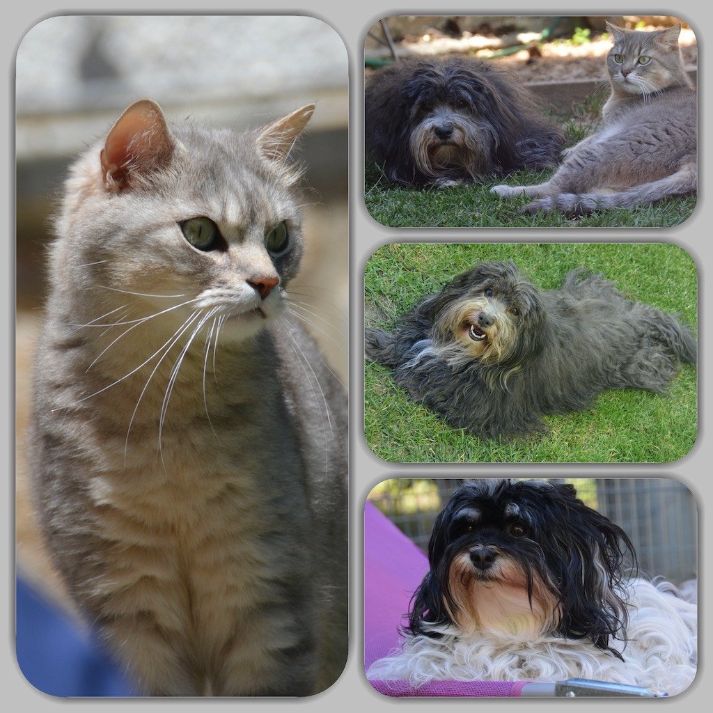 Bichons havanais et chats en montages-photos