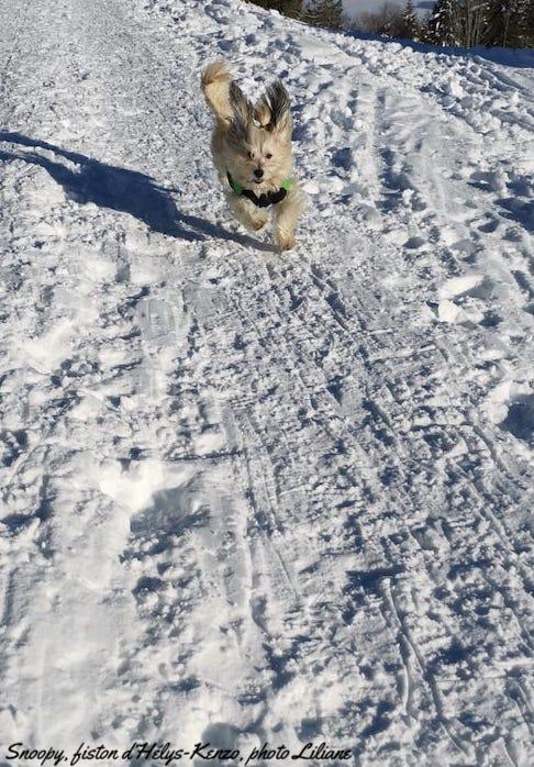 Les bichons et la neige